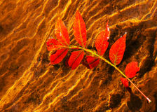 Brilliant red autumn leaf in water Royalty Free Stock Image