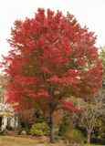 Brilliant red autumn tree in traditonal neighborhood near two story landscaped house with flowers on the porch royalty free stock photos