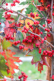Brilliant Red Berries Stock Photos