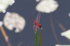 A brilliant red dragonfly feeds from reeds in a pond near the Hluhluwe/Imfolozi Game Reserve in KwaZulu-Natal, South Africa Royalty Free Stock Photos
