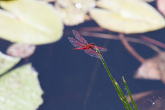 A brilliant red dragonfly feeds from reeds in a pond near the Hluhluwe/Imfolozi Game Reserve in KwaZulu-Natal, South Africa Stock Photo