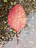 Brilliant red fall leaf on ground Stock Images