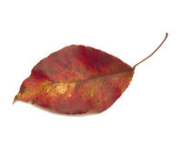Brilliant red fall leaf on white Royalty Free Stock Photography