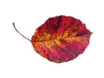 Brilliant red Fall leaf on white Stock Photo
