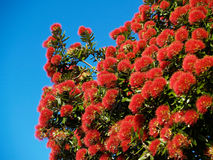 Brilliant red flowering pohutukawa. Brilliant red flowers of the pohutukawa trees against the blue sky Stock Photo