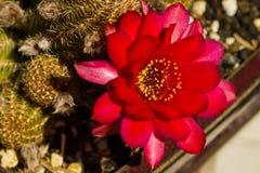 Chamaelobivia sp. cactus with flowers. Brilliant red flowers erupt from a Chamaelobivia cactus in a bonsai planter Stock Photography