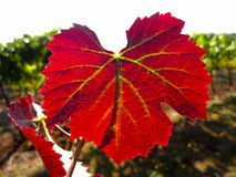 Brilliant red grape leaf in sunlight. On vine in vineyard royalty free stock image