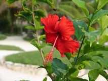 Brilliant Red Hibiscus. Brilliant red flower of hibiscus plant in the Yucatan Stock Images