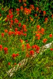 Brilliant red Indian Paint Brush. In a meadow, Banff National Park, Alberta, Canada Stock Photo