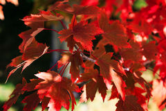 Brilliant red maple leaves in fall royalty free stock photo