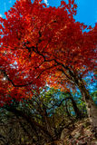 Brilliant Red Maple Tree at Lost Maples State Park, Texas Royalty Free Stock Photography