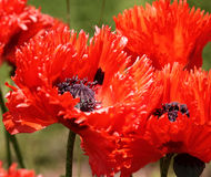 Brilliant Red Poppies Stock Images