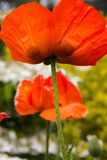 Brilliant red poppies on a sunny summer day. Royalty Free Stock Photos