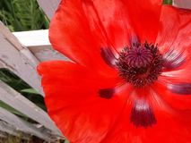 Brilliant Red Poppy by White Picket Fence. A charming rural flower garden scene with a single Papaver rhoeas blossom beside a wooden fence. Photographed in Royalty Free Stock Photo