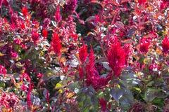 Brilliant red and purple Amaranthus cruentus Stock Photo