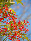 Brilliant red rosehips against bright blue sky Stock Images