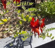 Brilliant red Sturt's Desert Pea . Royalty Free Stock Photography