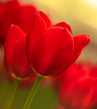 Brilliant Red Tulip macro Stock Photo