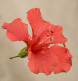 Brilliant or San Diego Red Hibiscus Stock Image