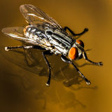 Brilliant Silver Black and Orange Insect Above Double Reflection Stock Images