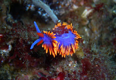 Brilliant Spanish Shawl Nudibranch. Brilliantly colored Spanish Shawl Nudibranch found off of central California's Channel Islands royalty free stock photo