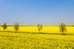 Brilliant rapeseed flower field royalty free stock image