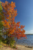 Brilliant Sugar Maple on a Lakeshore - Ontario, Canada Royalty Free Stock Images