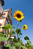 Brilliant sunflowers Stock Photography