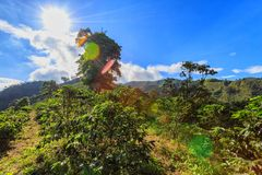 Brilliant sunlight and coffee. The bright hot tropical sun beats down on coffee plants on a coffee plantation near Manizales, Colombia royalty free stock image