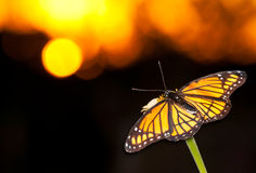 Brilliant Viceroy butterfly resting on a flower. Against colorful sunset Royalty Free Stock Image