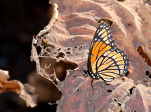 Brilliant Viceroy butterfly resting on a Lily leaf Royalty Free Stock Photos