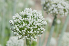 Brilliant White Leek Flower Stock Photos