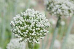 Brilliant White Leek Flower. Beautiful white leek flower basking in the garden sun Stock Photos
