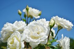 Brilliant white roses blooming. Stock Photos