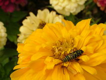 Brilliant yellow flower with insect. Bright yellow flower fully open with an insect stock photos