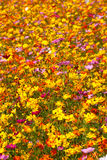 Brilliant Yellow and Pink Roadside Wildflowers Stock Image