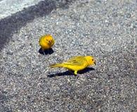 Brilliant Yellow Saffron Finch stock images