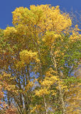 Brilliant Yellows in the Fall Royalty Free Stock Photos