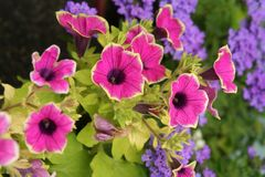 Brilliantly colored annuals blooms gloriously in a summer garden. Annual flowering plants grow vigorously, showing contrasting forms and colors, all defined in stock photos