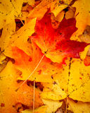 Brilliantly colored leaves of fall Royalty Free Stock Photography