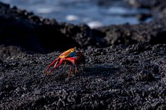 A brilliantly colored sally lightfoot crab royalty free stock image
