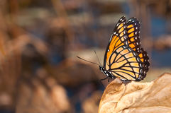 Brilliantly colored Viceroy butterfly Royalty Free Stock Images