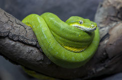 A brilliantly coloured Green Tree Python curled up in its enclosure at the Adelaide Zoo in South Australia in Australia. It is a species of python found in New Royalty Free Stock Image