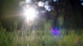 Brillo asombroso de la luz del sol durante puesta del sol con la hierba verde como fondo de la naturaleza wide fotos de archivo