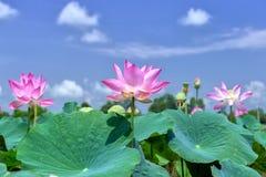 Brillo de levantamiento de Lotus en cielo imagenes de archivo