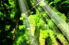 Brillo de los rayos solares a través del follaje verde enorme Fotografía de archivo libre de regalías