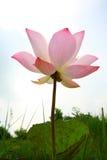 Brillo de Lotus Imágenes de archivo libres de regalías