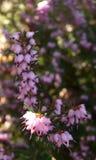 Brillo de Sun en las flores del brezo Foto de archivo libre de regalías