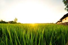 Brillo del rocío de la hierba de Indonesia del campo de arroz de la puesta del sol Imágenes de archivo libres de regalías