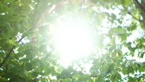 Brillo hermoso de Sun a través de las hojas del verde del árbol metrajes